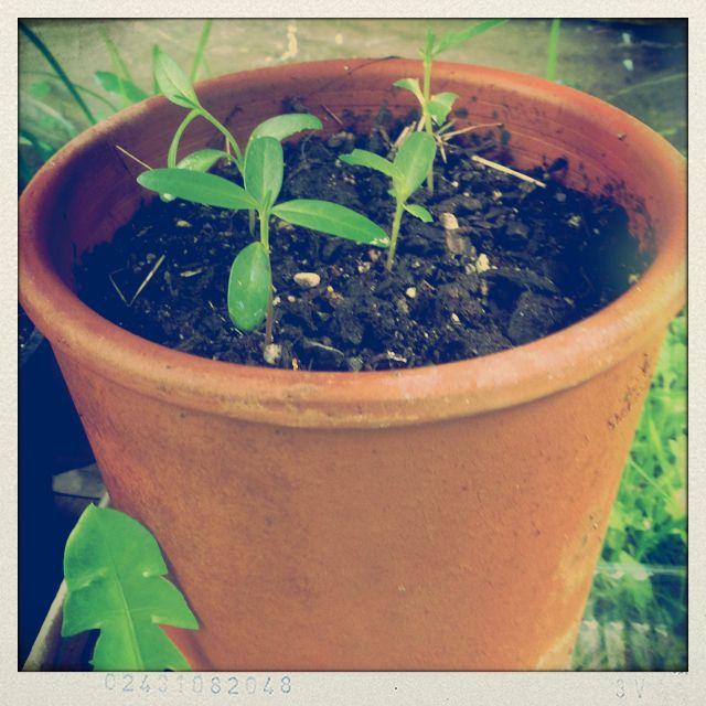 Swan plant seedlings.