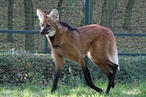 Tierpark Berlin: Neuer Mähnenwolf-Rüde im Tierpark Berlin angekommen