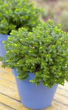 Die Strauchveronika (Hebe) macht sich gut als Tischdekoration im Topf. Hier eine Hebe 'Margaret' mit sattem Grün. Wer es eher extravagant liebt, hat bei dieser Pflanze die Wahl: Hebe 'Gold Beauty' zeichnet sich durch goldgelbe und die Hebe 'Purple Shamrock' durch lilafarbene Blätter aus