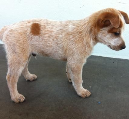 Stumpy Tail Australian Cattle Dog | FOR SALE: Australian Stumpy Tail Cattle Dogs Pups