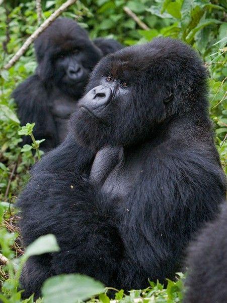 Gorilla Safari In Uganda and Rwanda - done this, but will do it with Dan and Matt