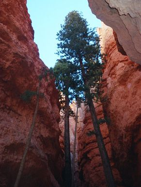Be-a-utiful!! What do see & do at Bryce Canyon National Park... (Douglas Fir Trees at the bottom of Wall Street, Navajo Trail) Is it on your Bucket List? ;)