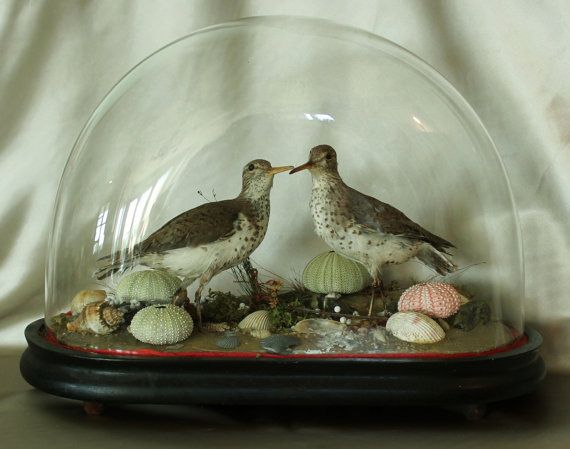 victorian taxidermy birds - Google Search