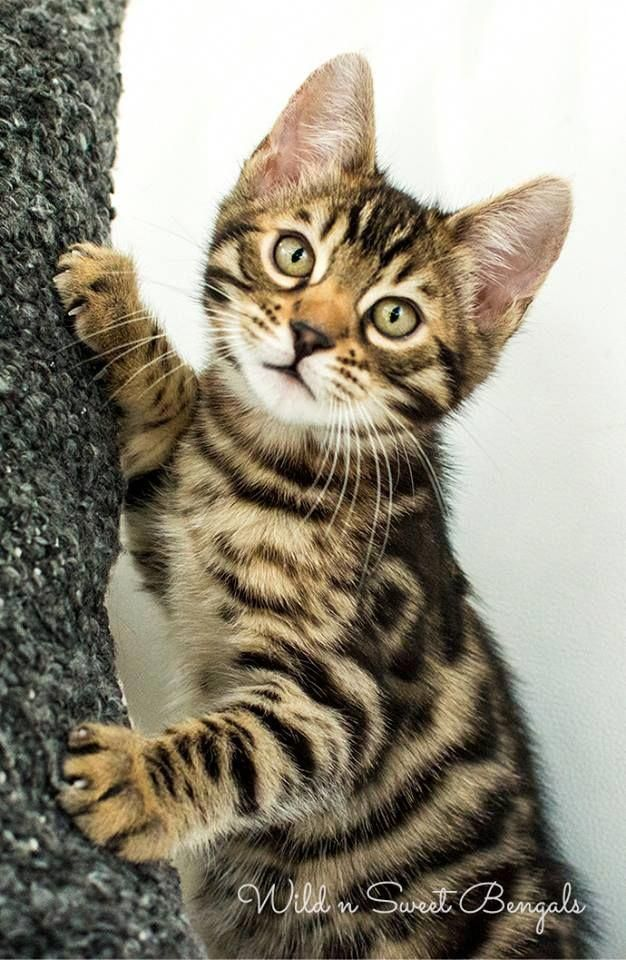 New Gorgeous Brown Charcoal And Snow Bengal Kittens Take A Look At Www Wildnsweetbengals Com Bengal Kitten Cats And Kittens Bengal Cat