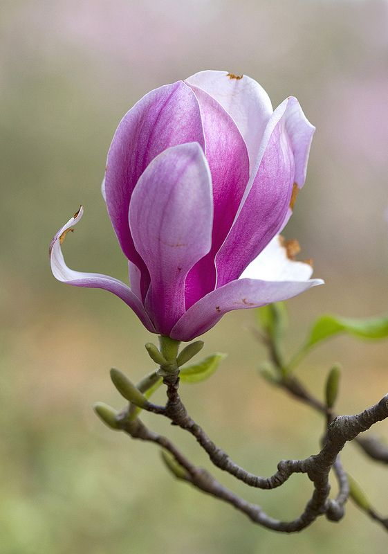 Pink Magnolias #magnolia #flowers