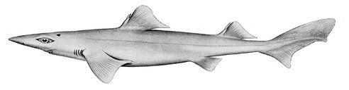 Dumb Gulper Shark (Centrophorus harrissoni) - Critically Endangered