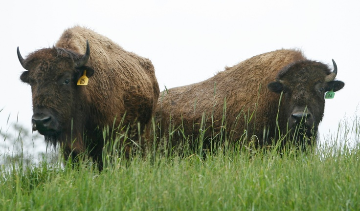 Two of over a hundred local farm-raised American bison currently reside on over 180 acres at Sunset Ridge Buffalo Farms, LLC in Person county, NC. Owners Jack and Sandy Pleasant have raised bison since 2001 on Jack's family farmland. They sell their packaged frozen bison meats at the Carrboro and Durham Farmer's markets in the western triangle. Photo: Harry Lynch - The News & Observer
