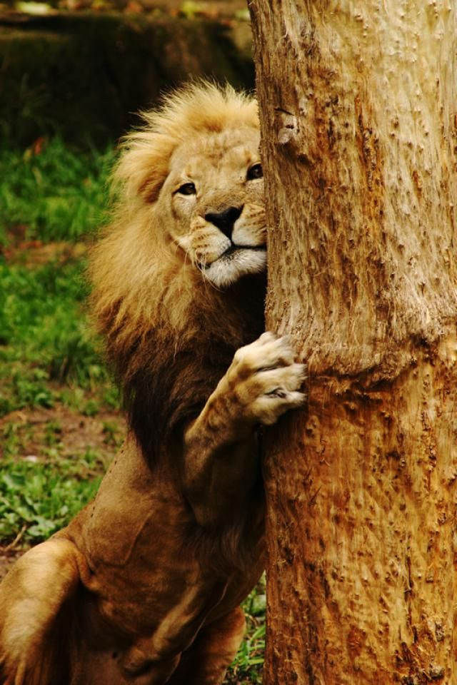 Visitor's Guide to the Lincoln Park Zoo: Lincoln Park Zoo Lion