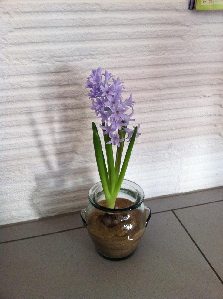 Schöne Frühlingsdeko, Hyacinthen