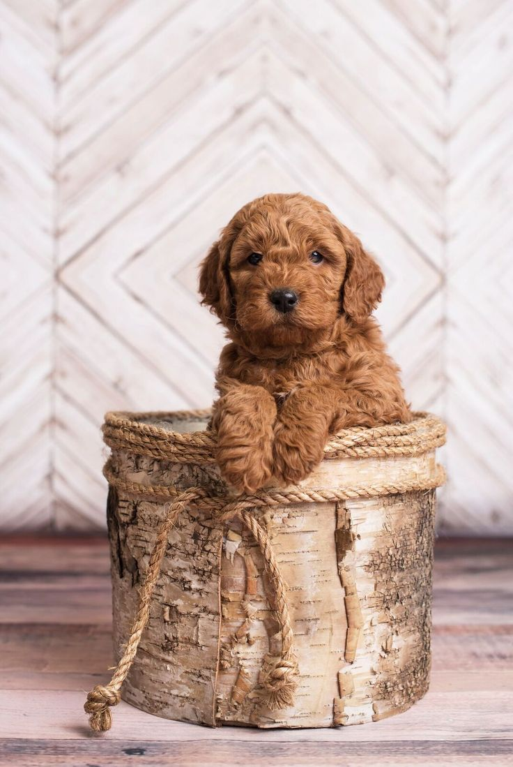 Willow & ???? Due Date: Spring 2017 Price: $2,000.00 Generation: F1B Mini Goldendoodle Expected Coats: Loose curly, shaggy curly, low to non-shedding Expected Colors:Red, Apricot and Cream...