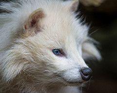 Profile portrait of a white raccoon dog (Tambako the Jaguar) Tags: portrait dog white beautiful face zoo switzerland nikon profile canine lausanne tanuki raccoon d4 canid servion
