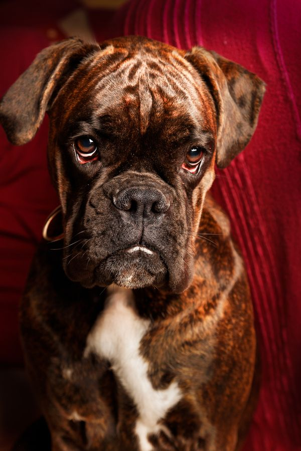 """""""I needs a kiss""""---Look at that face! What a beautiful boxer!"""