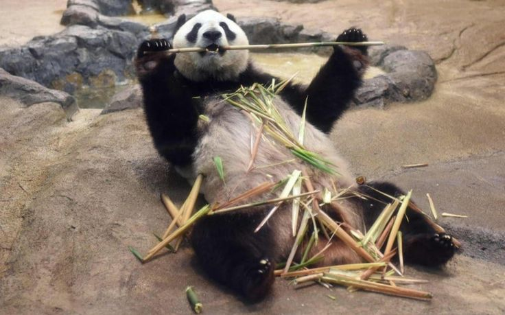 Shin Shin, una panda hembra del zoológico de Ueno, China, se da un festín de bambú poco después de confirmarse su embarazo (Nogi Kazuhiro, 2017)
