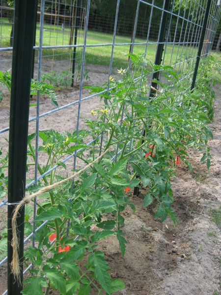 Cattle panel tomato trellis - let's be done with floppy cages!