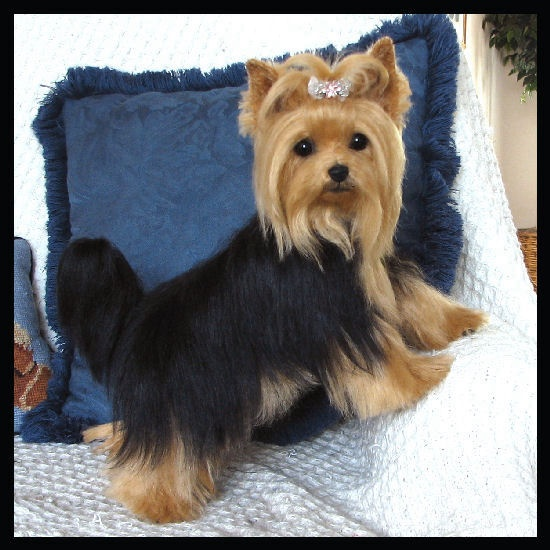 Yorkie glamour shot....BAHAHAHA people are so ridiculous