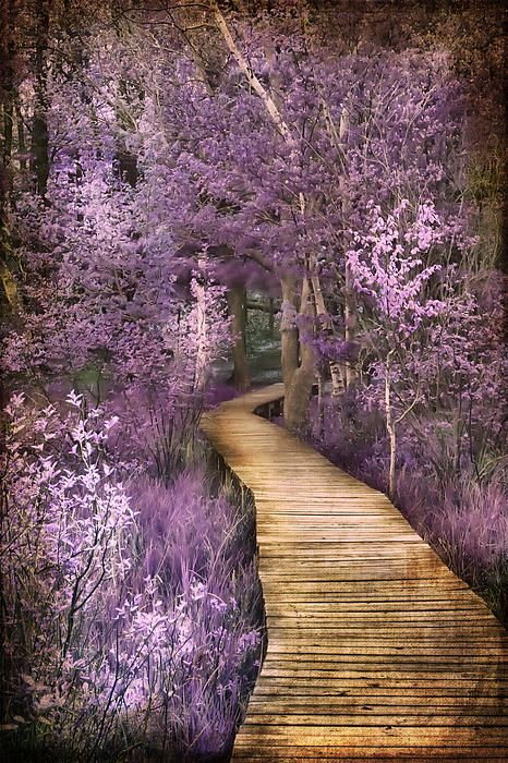 The wooden deck trail around Hamlin Lake in Ludington State Park in Michigan. A Springtime Shot of Pink and Lavendar flowers. (Evie Carrier)