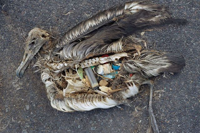Ocean Horror Show: Dead Sea Birds With Bellies Full of Plastic Garbage | Take the Plastics Pledge today!