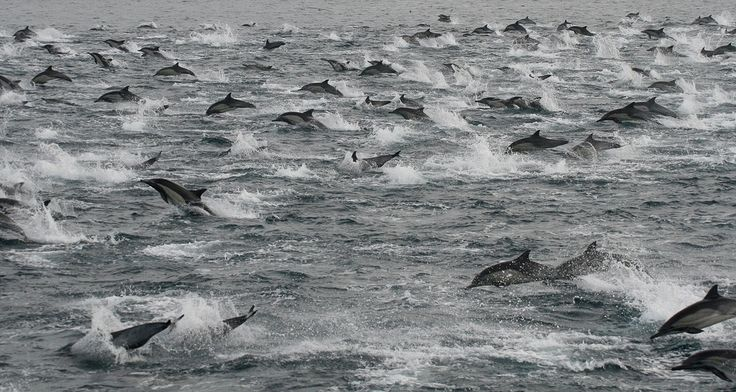 """Super Mega-Pod"" Of Hundreds Of Thousands Of Dolphins Is Indeed Super Mega = San Diego, Feb 2013"
