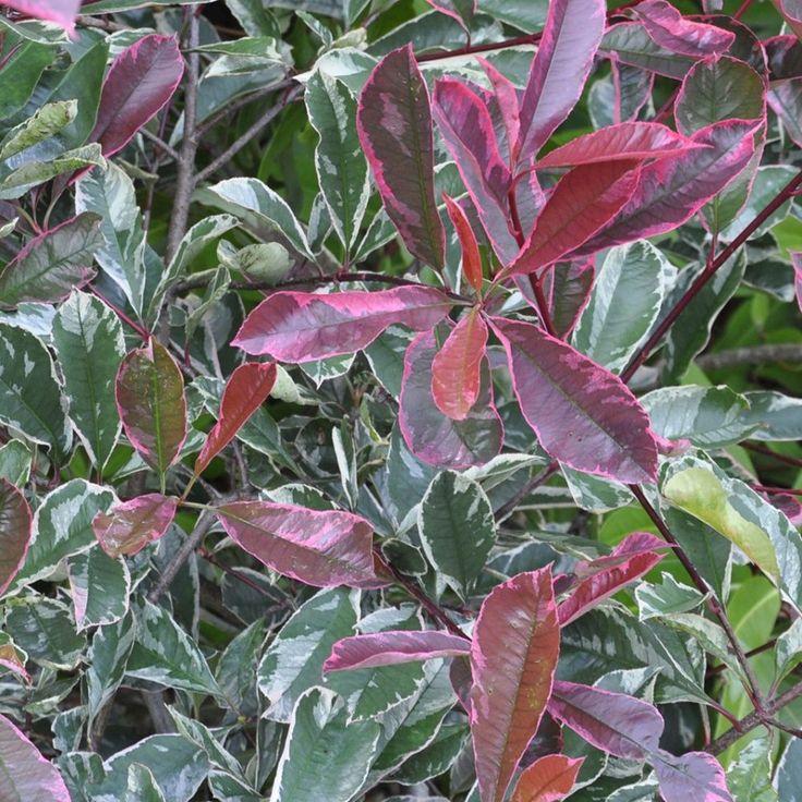 Photinia 'Pink marble cassini'