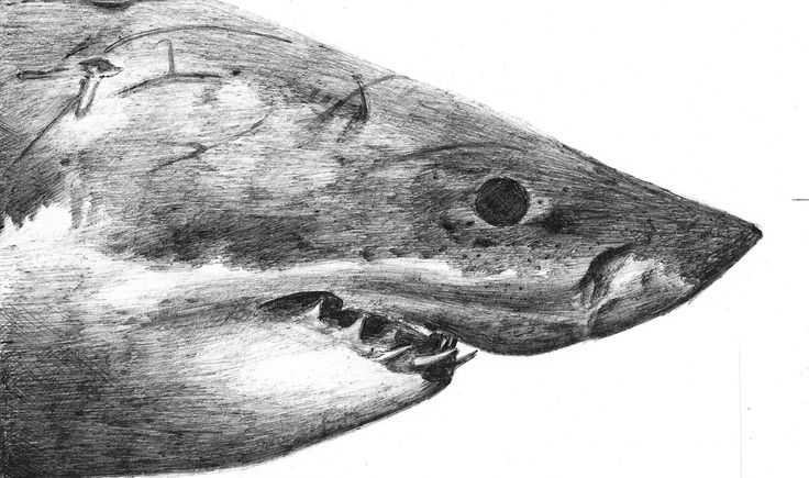 https://flic.kr/p/GT3vUL | Shark | Drawing of a great white shark with BIC pencil after photograph of George Probst (see: www.flickr.com/photos/sharkpix/12222100074/in/dateposted/ ) / W18-3