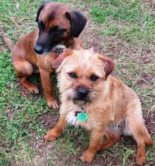 Conservation dogs: Pai and Piri will follow in their father Jak's paw-prints...