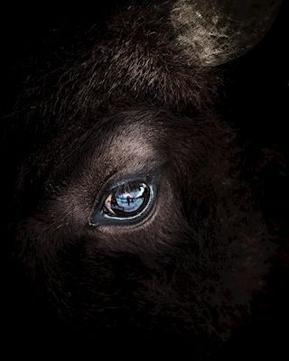Close-up photography of a minotaur. Available as poster at printler.com, the marketplace for photo art. Photographer Jonas Anhede.