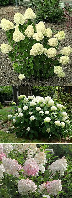 Почему не цветет гортензия. Почему не цветет гортензия в саду? Какие секреты знают те, кто добивается впечатляющего раскрытия обширной палитры цветов?