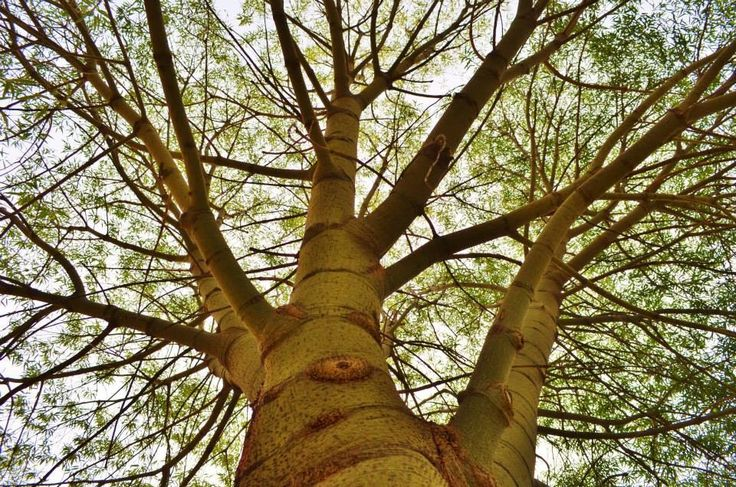 Looking up at a boab tree