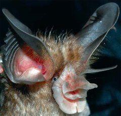 Schnitzler's Horseshoe Bat