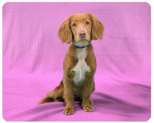 My Maisy. Before she was mine....Petfinder Adopted | Dog | Spaniel | Utica, MI | Baby Cara-ADOPTED