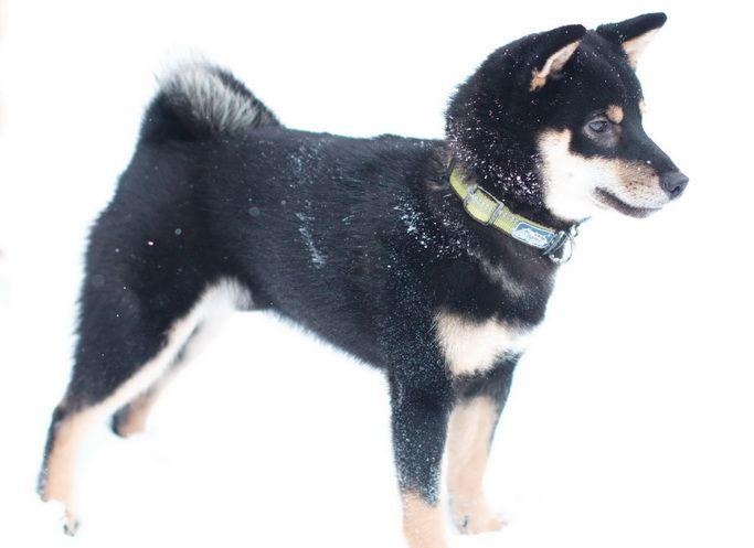 шиба ину черный щенок фото