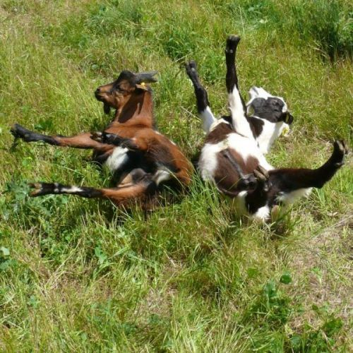 FAMILY MEMBERS AT HOMEAWAY herd of  Myotonic Goats  faint away   when startled,otherwise beautiful and people  friendly