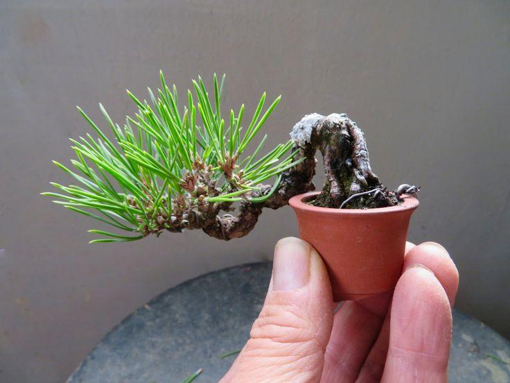 『盆栽:黒松のミニ懸崖』Pinus thunbergii black pine shohin