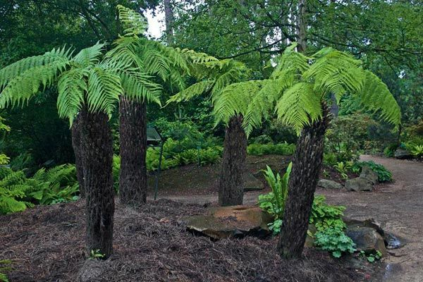 Dicksonia antarctica a species of evergreen tree fern native to parts of Australia. Typically about 4.5–5 m (15–16 ft) can grow to 15 m (49 ft), canopy of 2–6 m diameter. Grows on damp, sheltered woodland slopes & moist gullies. Can grow in acid, neutral & alkaline soils. It can grow in semi-shade. It strongly resents drought or dryness at the roots, doing best in moist soil. Can be used as a food source, with the pith of the plant being eaten either cooked or raw. It is a good source of…