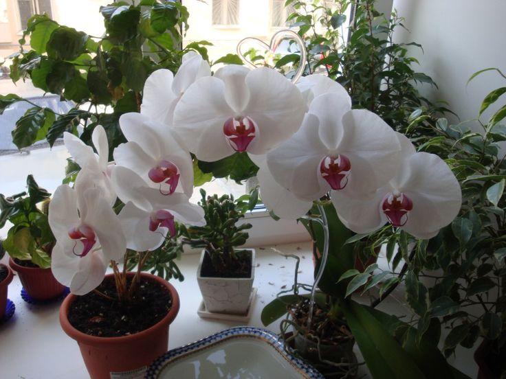 Цветение орхидеи. Как ухаживать во время и после цветения. » Цветик-семицветик