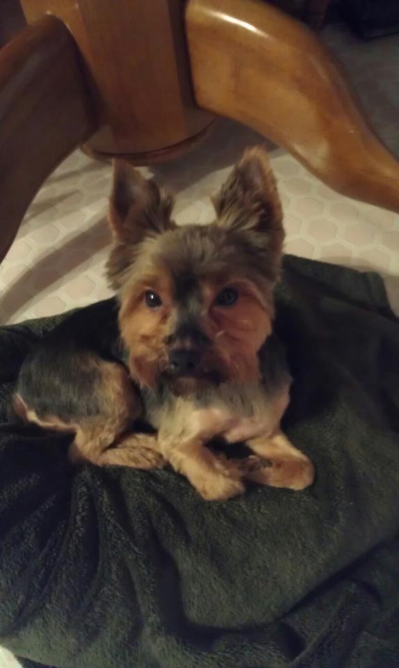 Yorkshire Terrier Boy Haircuts