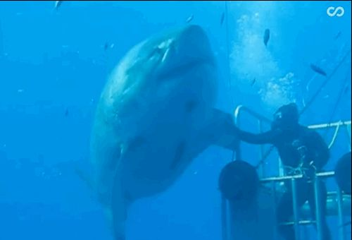 BRAVE AF. | This Diver Gets Real Close To A Giant Great White Shark And It's...