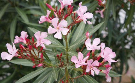 Krankheiten und Schädlinge an Oleander