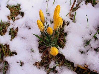 CLARISSIMUS: Ze sněhu vyráží krokusy