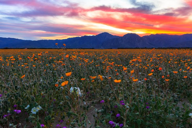 Desert sunflowers (orange-yellow), dune evening primroses (white), and desert sand verbenas (purple) blooming in Anza Borrego Desert Park on March 14, 2017. Photo by Flickr user Kevin. Used under the terms of a CC license.