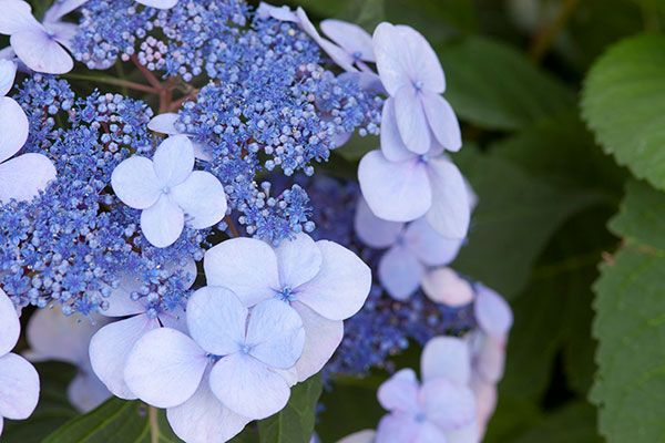 Photo: Endless Summer® Hydrangeas   thisoldhouse.com   from 10 New Hydrangeas You'll Want to Grow Now