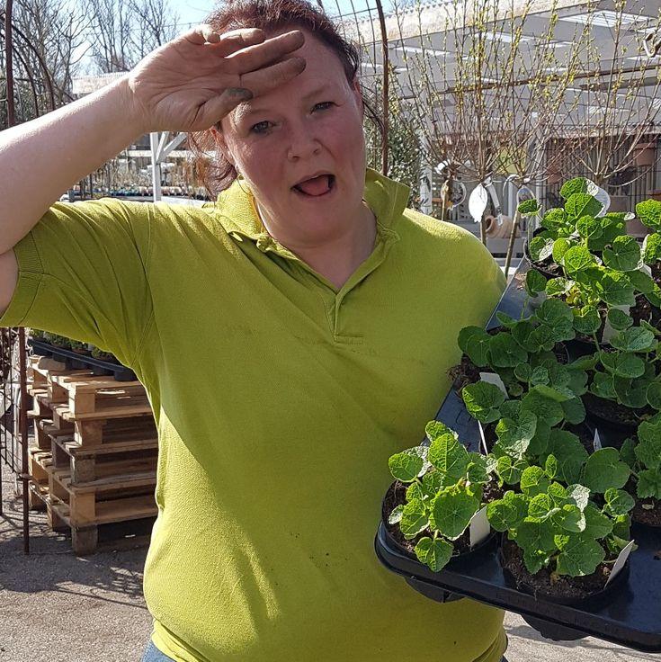 Svettigt att plocka perenner... Nu börjar vi sälja från vår egen odling! 😀😀😀 #lillahults @lillahultsblommor