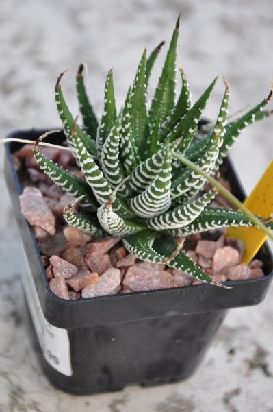 Tips For Indoor Succulents The Winter Cactus And Zebras