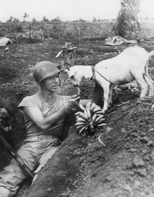 A US Marine shares bananas with a goat; Saipan - 1944