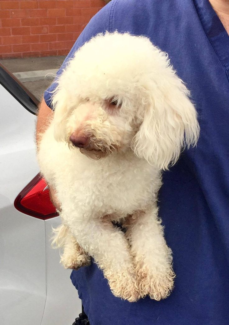Poodle (Miniature) dog for Adoption in Bellevue, WA. ADN-699453 on PuppyFinder.com Gender: Male. Age: Adult