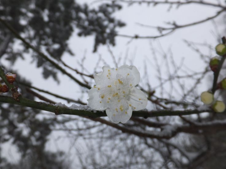 雪と梅(その11)