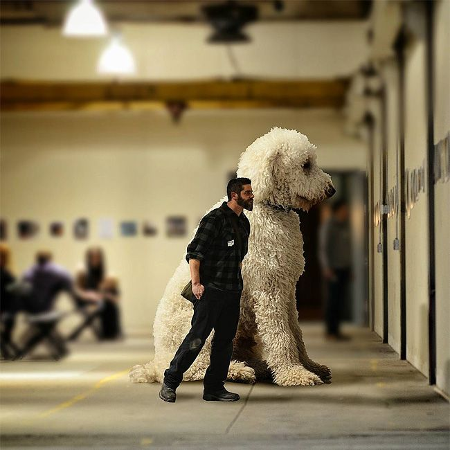 Best Christopher Cline And His Goldendoodle Jujiphotographer - Guy uses photoshop to turn his miniature dog into a giant