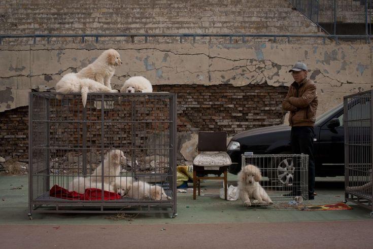 Il mastino tibetano da 750mila dollari, è status symbol tra i ricchi in Cina