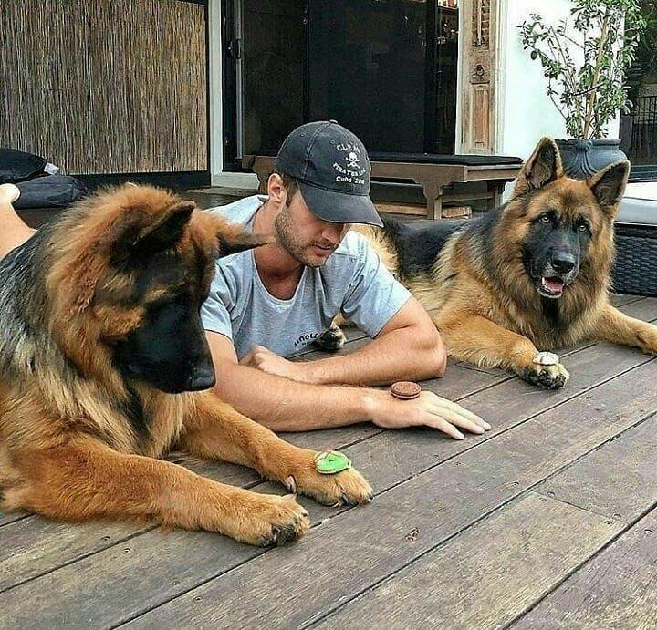 Lol This Pic Is Great Germanshepherds German Shepherd Dogs Shepherd Dog Shepherd Puppies