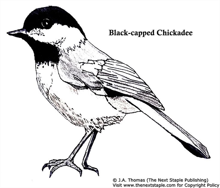 chickadee bird coloring pages - photo#34